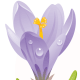 free purple crocus free flower clip art