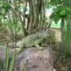 Iguana poses in natural surroundings