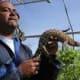 Handling a large lizard
