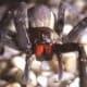 The Wandering Spider.  World's most dangerous arachnid