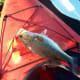 Large Mouth Bass caught on Lake Nina