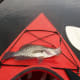 Black Crappie caught on Lake Mizell