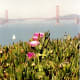 Iceplant in bloom with Golden Gate Bridge in background