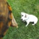 Hank the Jack Russell is wondering about the box turtle.
