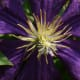 Purple Clematis: Notice the delicate stamens and the dark blue veining of the petals.