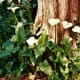 Calla lilies at the base of a tree