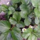 Alpine Strawberries in flower under our raspberry canes; plated there because unlike other strawberries they prefers shade.