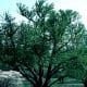 Katsura tree (black wood)