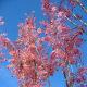 Chinese Cedar tree (red wood)