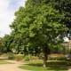 Mulberry tree (yellow wood)