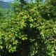 Ilex Macropoda tree (white wood)