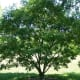 Amur Maackia tree (brown wood)