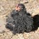 black frizzle cochin bantam