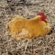 what-chicken-breed-is-right-for-you