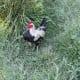 Old English game bantam rooster