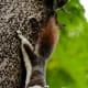 Callosciurus finlaysonii, known as Finlayson's squirrel or variable squirrel. Bangkok - Thailand.