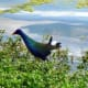 American Purple Gallinule in Mary Jo Peckham Park