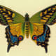 Butterfly pictures: Green, blue and yellow butterfly