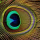"Peacock feather's ""eye."""