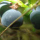 Bilberry (Wikimedia Commons)