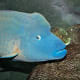 The humphead wrasse (Cheilinus undulatus) is a wrasse  that is mainly found in coral reefs in the Indo-Pacific region. It is also known as the Mori wrasse, Napoleon wrasse, Napoleonfish