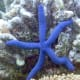 "Linckia laevigata (sometimes called the ""blue Linckia"" or Blue Sea Star) is a species of sea star in the shallow waters of tropical Indo-Pacific."