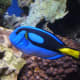 Paracanthurus hepatus has a royal blue body, yellow tail, and black 'palette' design. The lower body is yellow in the west-central Indian Ocean. It grows to 31 cm (12.25 in.). The species' range is broad, but it is nowhere common.