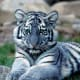 The Maltese tiger, or blue tiger, is a suspected coloration morph of a tiger, reported mostly from the Fujian Province of China. It is said to have bluish fur with dark grey stripes