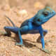 Agama sinaita is an agamid lizard. It is common in deserts around the Red sea. The length of the lizard is up to 25 cm
