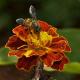Asiatic honeybee