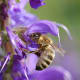 Honey bee collecting honey