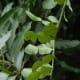 Kaffir lime leaves, used in Thai cooking, were photographed by Meneerke bloem on November 25, 2009.