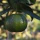 This unripe mandarin was photographed by Marco Bernardini on November 11, 2009.
