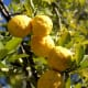 Hans Hillewaert photographed this lemon tree in Outjo, Namibia on June 27, 2007.