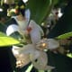 Javier martin photographed these Citrus sinensis flowers close-up in Solana del Pino, Sierra Madrona, Spain on May 11, 2008.