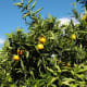 Amada44 photographed this mandarin tree on May 29, 2005.