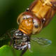 This dragonfly is dining on a bee it has captured. Click on the image to display a larger image.