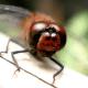 macrophotography-of-dragonflies