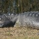 Or are you a lazy gator, like this fellow from the Everglades?