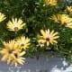 Lemon Symphony (Osteospermum hydrid)
