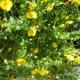 Golddust (Mecardonia hybrid) -- This is a trailing plant.