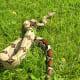 Boa constrictors are also non-venomous but they will bite!