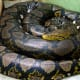 The reticulated python is a non-venomous constrictor