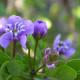 National Flower - Lignum Vitae