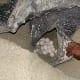 Eggs of leatherback turtle