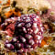 Eusynstyela misakiensis (Tunicates)
