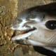Jaws of the vaquita