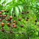 mature soap nuts in Hawaii, Sapindaceae saponaria Indigenous to the Hawaiian Islands (Hawaiʻi Island only) Oʻahu (Cultivated)