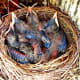 Baby Robins Are Colorful At Four Days Old