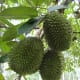 Durian fruits on the tree.